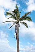 Palm tree under a blue sky, Puerto Naos, La Palma, Canary Islands, Spain, Europe
