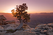 Baum am Grand Canyon bei Sonnenuntergang, Arizona, USA