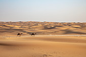 Two camels walk on sand dune in desert, near Arabian Nights Village, Mshayrif, Abu Dhabi, United Arab Emirates, Middle East