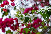 White and red bougainville flowers, Paraty, Rio de Janeiro, Brazil, South America