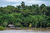 A riverfront wooden house with palm-frond roof and drying laundry is dwarfed by surrounding palm and other trees, Breves Channels, near Belem, Para, Brazil, South America