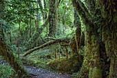 Weg durch Regenwald mit Flechten und Moosen auf Bäumen, nahe Chalten, Chile, Patagonien, Chile, Südamerika