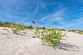 Sand dune, European sea mustard (Cakile maritima) and painted lady (Vanessa cardui), Wangerooge, East Frisian Islands, Friesland District, Lower Saxony, Germany, Europe