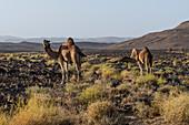 Kamele in Assekrem, Tamanrasset, Hoggar-Gebirge, Algerien, Nordafrika, Afrika