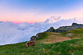 Junger Steinbock im Gras mit Wolken im Hintergrund, bei Sonnenuntergang, Valgerola, Orobie-Alpen, Valtellina, Lombardei, Italien, Europa