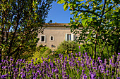 House with lavender in the garden, Occitania, France