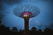 Low angle view of futuristic Supertree Grove at Gardens by the Bay in Singapore in the evening.
