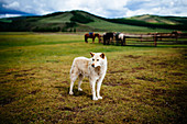 White guard dog standing on an open plains, small paddock with horses and hills in background.