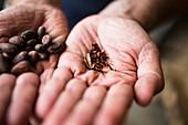 Hand hält zerkleinerte, geröstete Kakaobohne