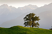 Sycamore maple on an alpine meadow, Allgäu Alps, near Oberstdorf, Allgäu, Bavaria, Germany