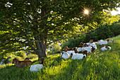 Goats at Weinfelder Maar, Totenmaar, near Daun, Eifelmaare, Eifel, Rhineland-Palatinate, Germany