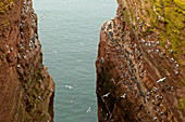 Brütende Trottellummen (Uria aalge) und Dreizehenmöwen (Rissa tridactyla) auf den Lummenfelsen, Helgoland, Nordsee, Schleswig-Holstein, Deutschland