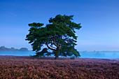 Pine, heather blossom in the Westruper Heide, Münsterland, North Rhine-Westphalia, Germany