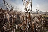 Hoar frost, reeds, Oderbruch, Brandenburg, Germany