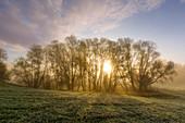 Weiden im Morgennebel, Oderbruch, Brandenburg, Deutschland