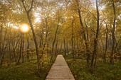 Birken am Wanderweg durch das Rote Moor, Rhön, Hessen, Deutschland