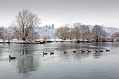 Geese on the Ruhr in winter, Ruhrauen, view to Blankenstein Castle, near Hattingen, Ruhr area, North Rhine-Westphalia, Germany