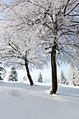 Beech trees, winter landscape at Kahlen Asten near Winterberg, Sauerland, North Rhine-Westphalia, Germany