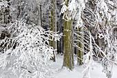 Spruce forest, winter landscape on the Hohen Hagen near Winterberg, Sauerland, North Rhine-Westphalia, Germany