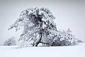 Pine tree, winter landscape on the Hohen Hagen near Winterberg, Sauerland, North Rhine-Westphalia, Germany