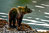 A bear by the water to fish for salmon. Heines, Alaska
