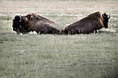 2 bison are lying in the meadow and are taking a break. Yukon, Whitehorse. Canada.