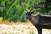 Reindeer stands in the meadow. Yukon, Canada, Whitehorse.
