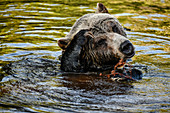 Bear is lying in the water and scratching his head. Heines; Alaska; Canada; North America.