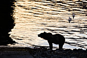 Bear stands on the shore for fishing for salmon. 2 gulls are curious. Heines, Alaska.