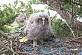 France, Vendee, Noirmoutier, young Long-eared Owl (Asio otus) young