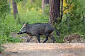 France, Vendee, Notre Dame de Monts, Wild boar and baby (Sus scrofa)