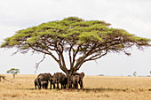 African elephant (Loxodonta africana) sheltering from the heat under a tree canopy, Serengeti National Park, UNESCO World Heritage Site, Tanzania, East Africa, Africa