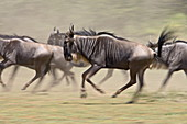 Blue wildebeest (brindled gnu) (Connochaetes taurinus) herd running, Ngorongoro Conservation Area, Tanzania, East Africa, Africa