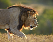 Male lion (Panthera leo), backlit, Addo Elephant National Park, South Africa, Africa