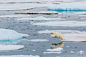 Mother polar bear (Ursus maritimus) leaping from ice floe to ice floe in Olgastretet off Barentsoya, Svalbard, Norway, Scandinavia, Europe