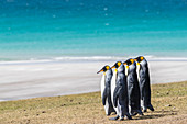 Adult king penguins (Aptenodytes patagonicus) on the grassy slopes of Saunders Island, Falkland Islands, South America