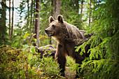 Braunbär (Ursus Arctos), Finnland, Skandinavien, Europa