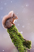 Red squirrel (Sciurus vulgaris) sitting in falling snow, Yorkshire Dales, Yorkshire, England, United Kingdom, Europe