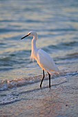 Snowy Egret, Sanibel, Florida, Usa *** Local Caption ***