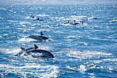 Group of striped dolphins (Stenella coeruleoalba) swimming, Strait of Gibraltar, Costa de la Luz, Andalucia (Andalusia), Spain, Europe