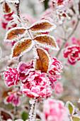 Frostbedeckte Blumen und Blätter, Stadt Cakovice, Prag, Tschechische Republik, Europa