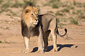Male lion (Panthera leo) on patrol, Kgalagadi Transfrontier Park, Northern Cape, South Africa, Africa