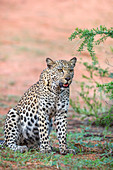 Leopard (Panthera pardus) female, Kgalagadi Transfrontier Park, Northern Cape, South Africa, Africa