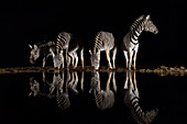 Plains zebra (Equus quagga) drinking at night, Zimanga private game reserve, KwaZulu-Natal, South Africa, Africa