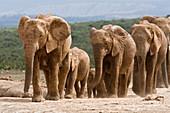 Elefantenzuchtherde (Loxodonta africana), Addo Elephant National Park, Ostkap, Südafrika, Afrika