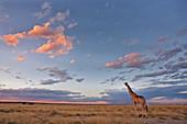 Giraffe (Giraffa camelopardalis), in der Abenddämmerung, Etosha National Park, Namibia, Afrika