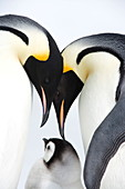 Emperor penguin (Aptenodytes forsteri), chick and adults, Snow Hill Island, Weddell Sea, Antarctica, Polar Regions *** Local Caption ***