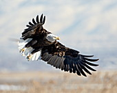 Bald Eagle (Haliaeetus leucocephalus) on approach, Farmington Bay, Utah, United States of America, North America
