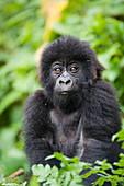 Infant mountain gorilla (Gorilla gorilla beringei), Amahoro A group, Volcanoes National Park (Parc National des Volcans), Rwanda, Africa