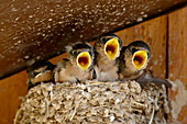 Four barn swallow (Hirundo rustica) chicks chirping, Custer State Park, South Dakota, United States of America, North America